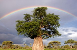BEOBAB-TREE-national-geographic